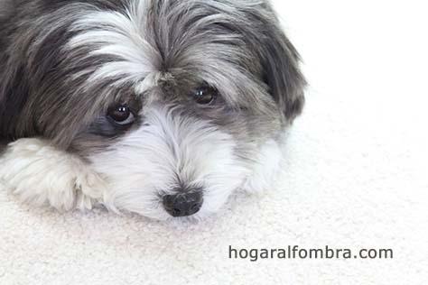 Alfombras y mascotas | Hogar Alfombra